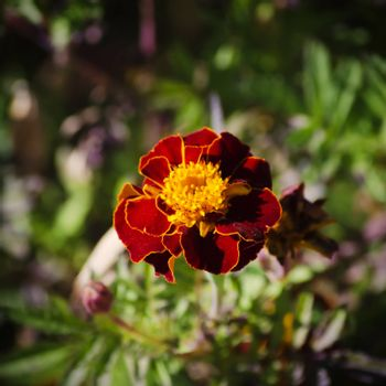 Photo of Tagetes Flower Over Green Natural Background