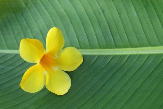 allamanda on banana leaf