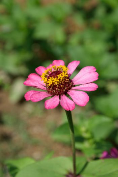 light pink zinnia