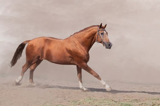 Horse galloping in sand and dust