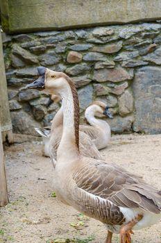 Goose in Prague zoo