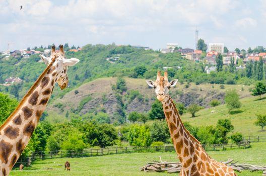 Giraffe in zoo Prague