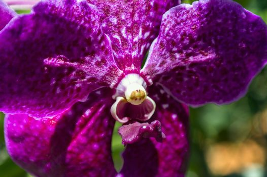 Heart of Orchid.