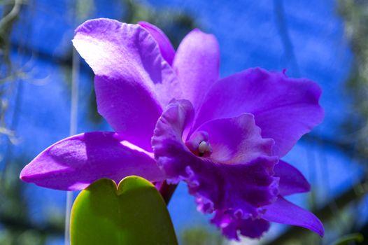 Pinkish Orchid.