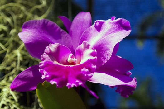 Rose Orchid.