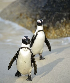 African penguin  African penguin