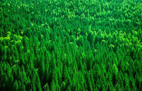 Fir tree forest background