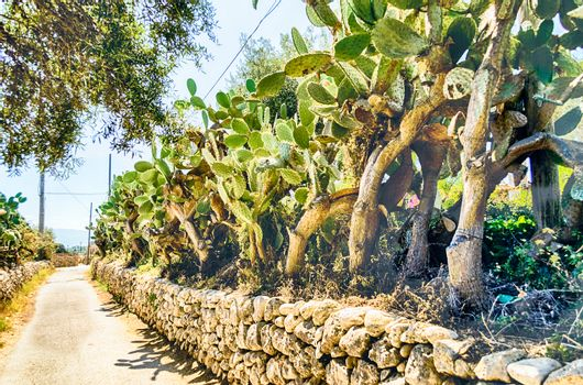 Prickly pear trees