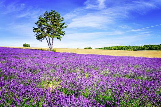 LAVENDER IN SOUTH OF FRANCE