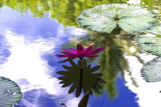 Nymphaea and Sky with Reflections.
