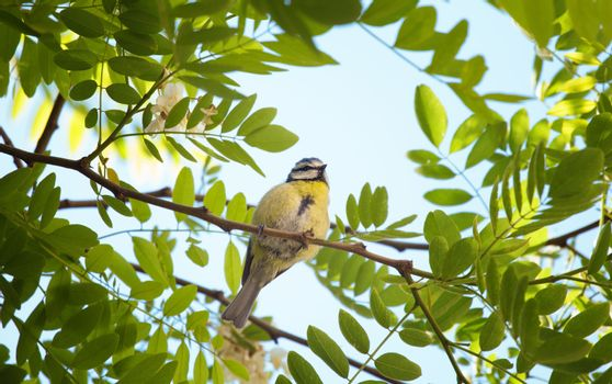 Picture of a cute bluetit on a branch