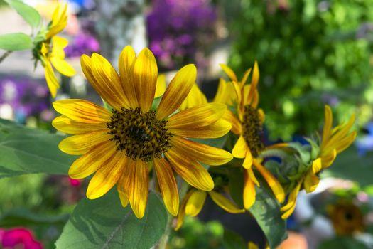 Helianthus Annuus Flowers.