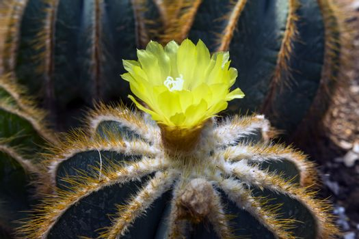 Flower of Notocactus Mammulosus.