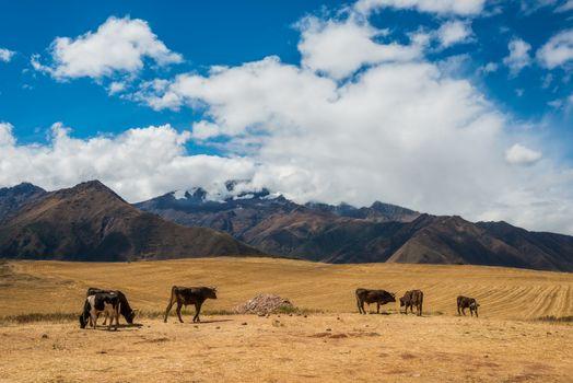 cows peruvian Andes  Cuzco Peru