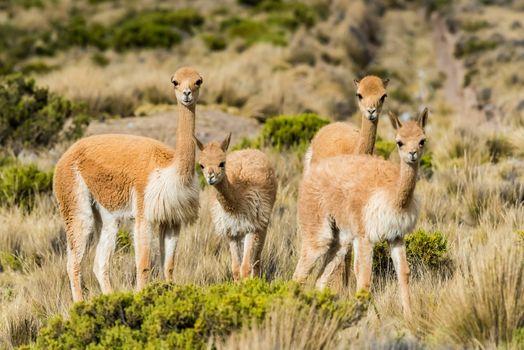 Vicunas in the peruvian Andes Arequipa Peru