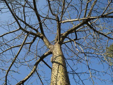 Chorisia tree