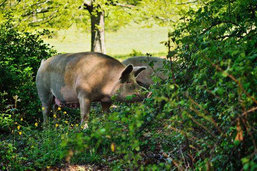 Pig at the bushes