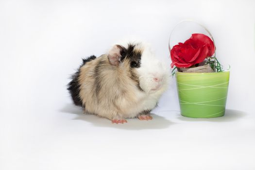 Guinea pig with the red rose in the bowl.