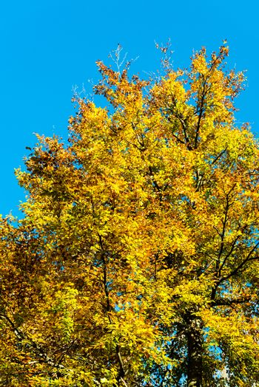 Autumn foliage against blue sky