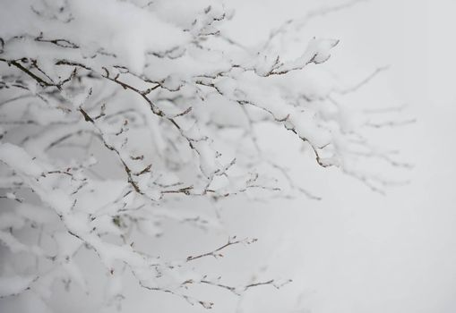 Bare Frozen Branches Covered with Fresh Snow