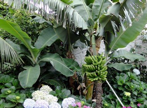 Close up view on a banana tree.  Picture taken on July 24, 2011.