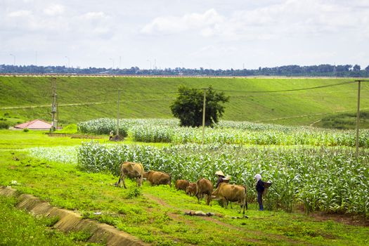 Buon Me Thuot, Vietnam - July 25th, 2014: Two women in a green grass and corn, they were looking for their pair of cows, in Eaphe village, Buon Me Thuot, Vietnam
