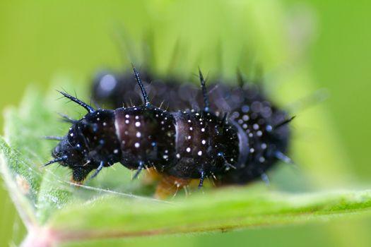 caterpillars a peacock eye macro on a green nettle