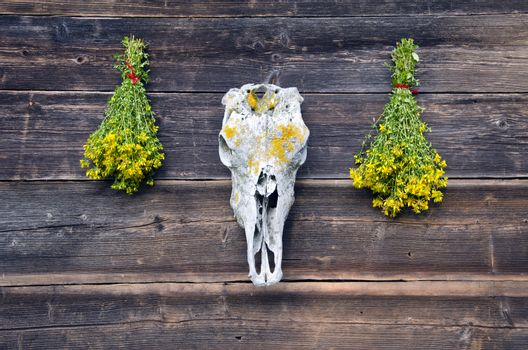 horse skull cranium and two bunch St Johns wort flowers on wall