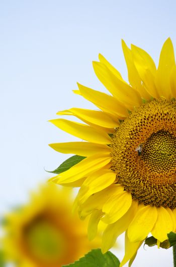 Yellow Sunflower Over Blue Sky in Sunny Summer Day