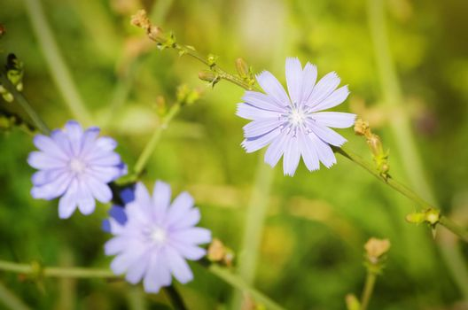 Photo of the Blue Chicory Flower Over Green Grass