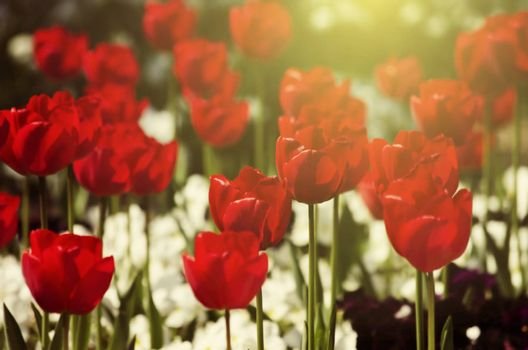 Photo of Red Tulip Flower Field in Sunny Day