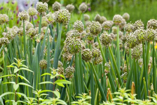 Flowers of onion in vegetable garden