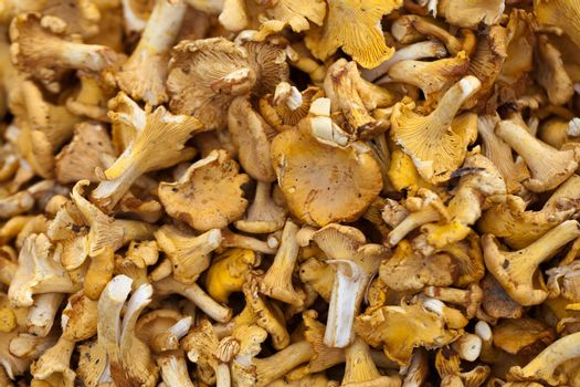 Tasty chanterelles cutted in a summer forest