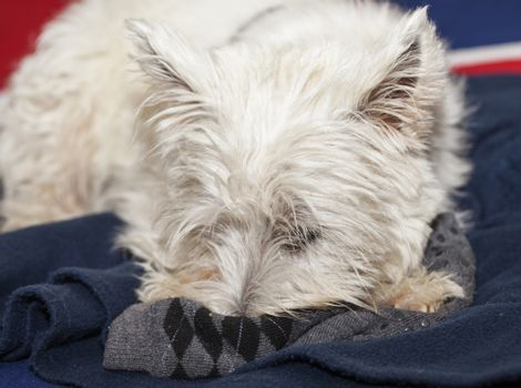West Highlands terrier with muzzle in a sox