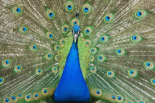 male peacock with tail feathers spread