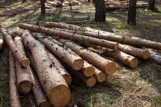 Pile of cut pine logs in the forest.