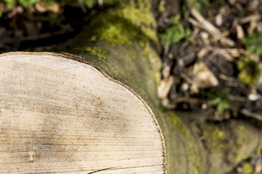 snag from fresh cut tree. with small depth of field