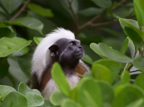 Cotton-top tamarin in the tropical forest of Colombia