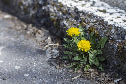 small yellow dandelion growing at curb stone edge. Rough street.