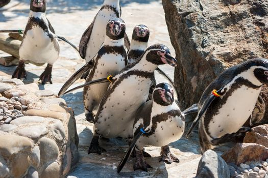 Humboldt Penguins walking out in the zoo. Spain