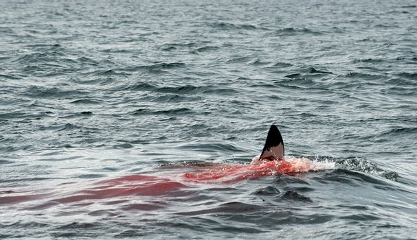 Fin of a Great white shark (Carcharodon carcharias)in the blood.