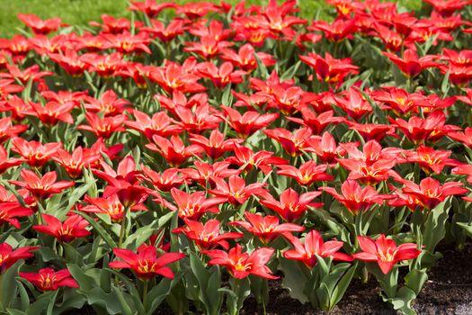 red tulips in Keukenhof Garden