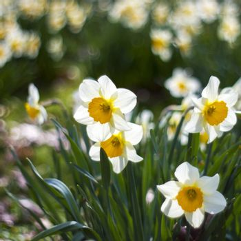 white daffodils in the park, springtime