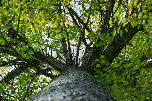 Inside aspen Tree