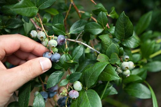 Close up of a hand picking blueberries that are ripe straight from the bush.