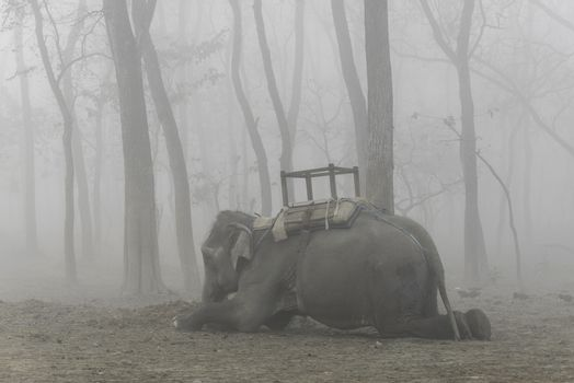 Domesticated elephant lying down