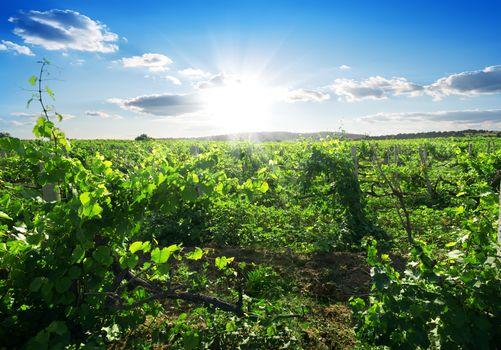 Day in vineyard