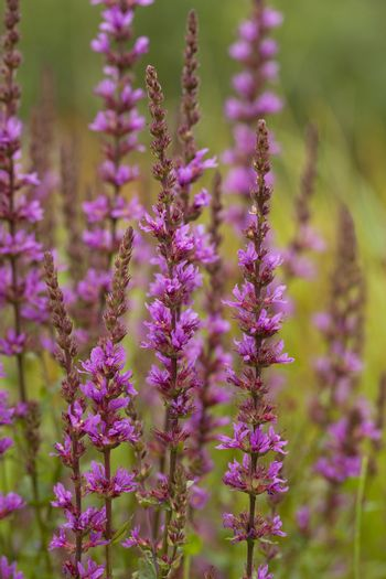cluster of purple loosestrife (Lythrum salicaria) on meadow