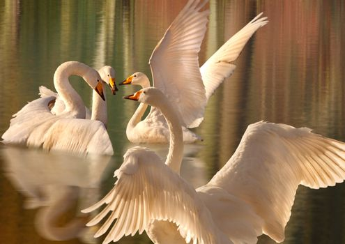 A gathering of Swans
