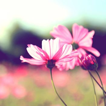 Pink cosmos flowers with retro filter effect